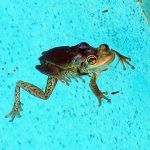 Frog in the pool